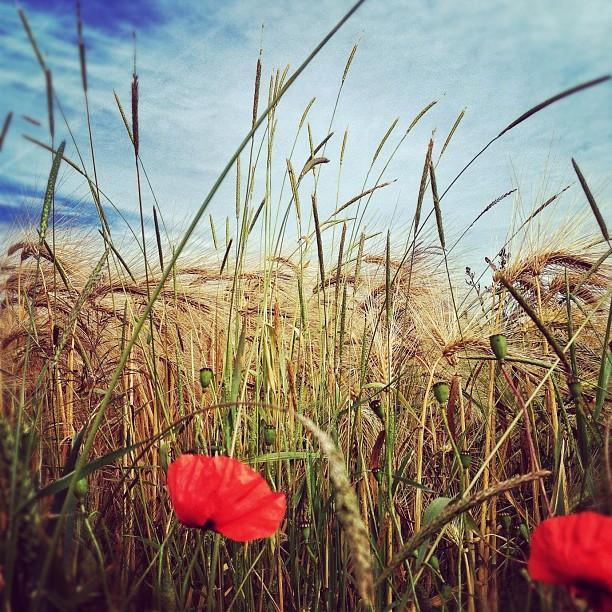 Hiding in the wheat… Camp et Haie, Ellezelles